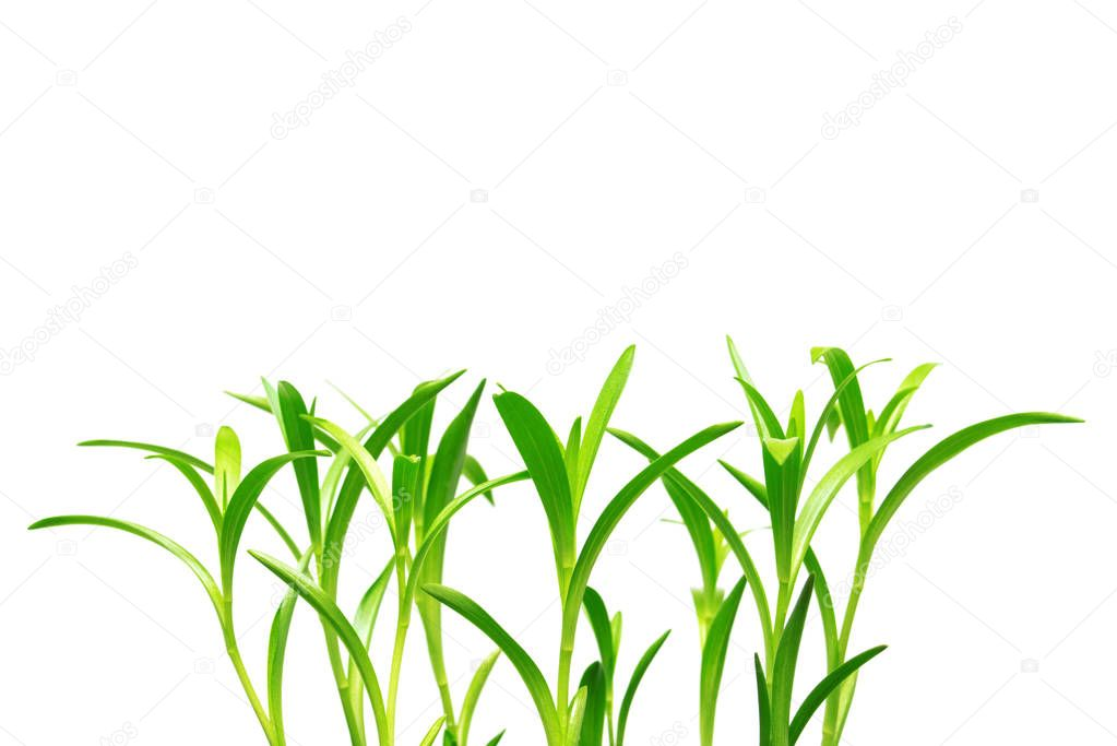 Seedling lily flowers with roots isolated on white background