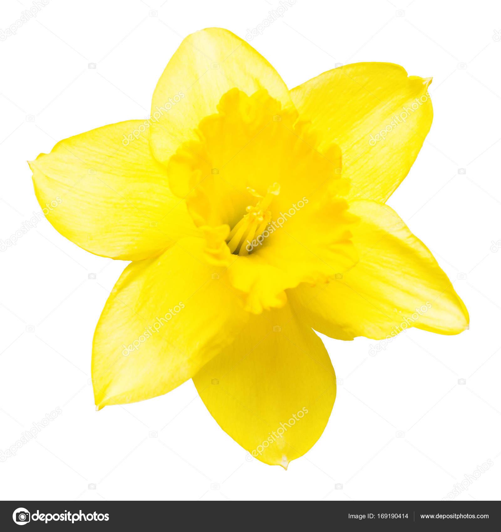 Fleur Jonquille Jaune Isole Sur Fond Blanc Plat Lapointe T