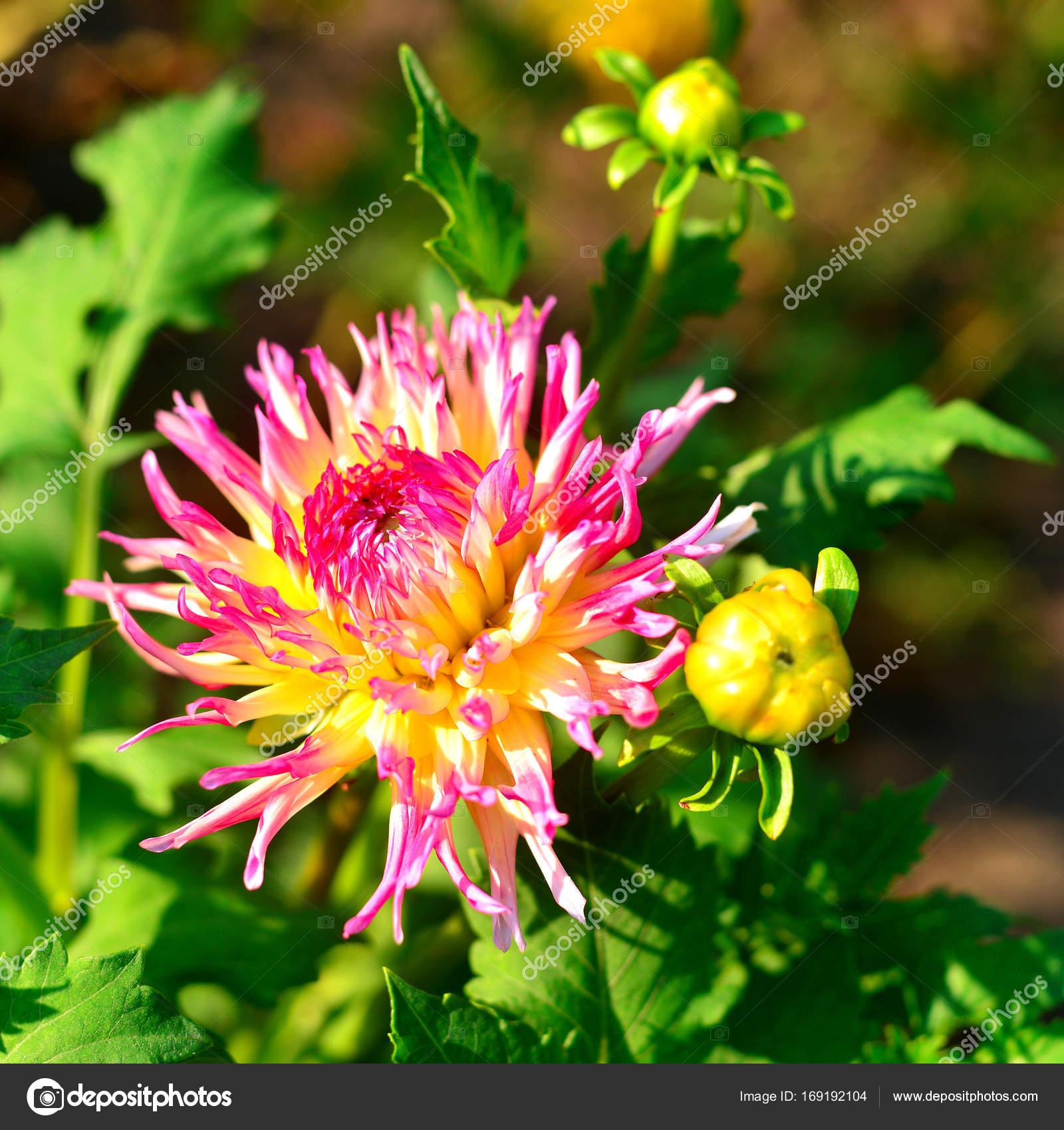 Imágenes: dalias | Flores de Dalias rosa y brotes en el ...