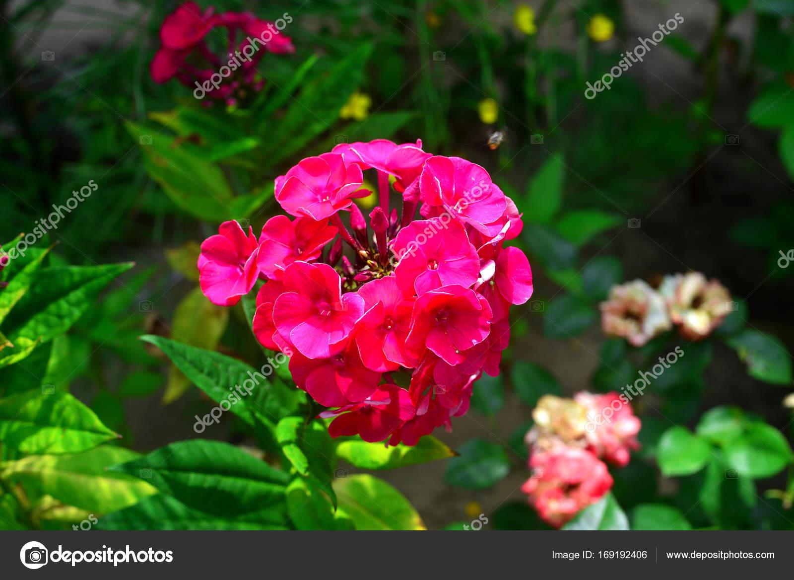 Phlox de flor en el jardín de las flores — Fotos de Stock ...