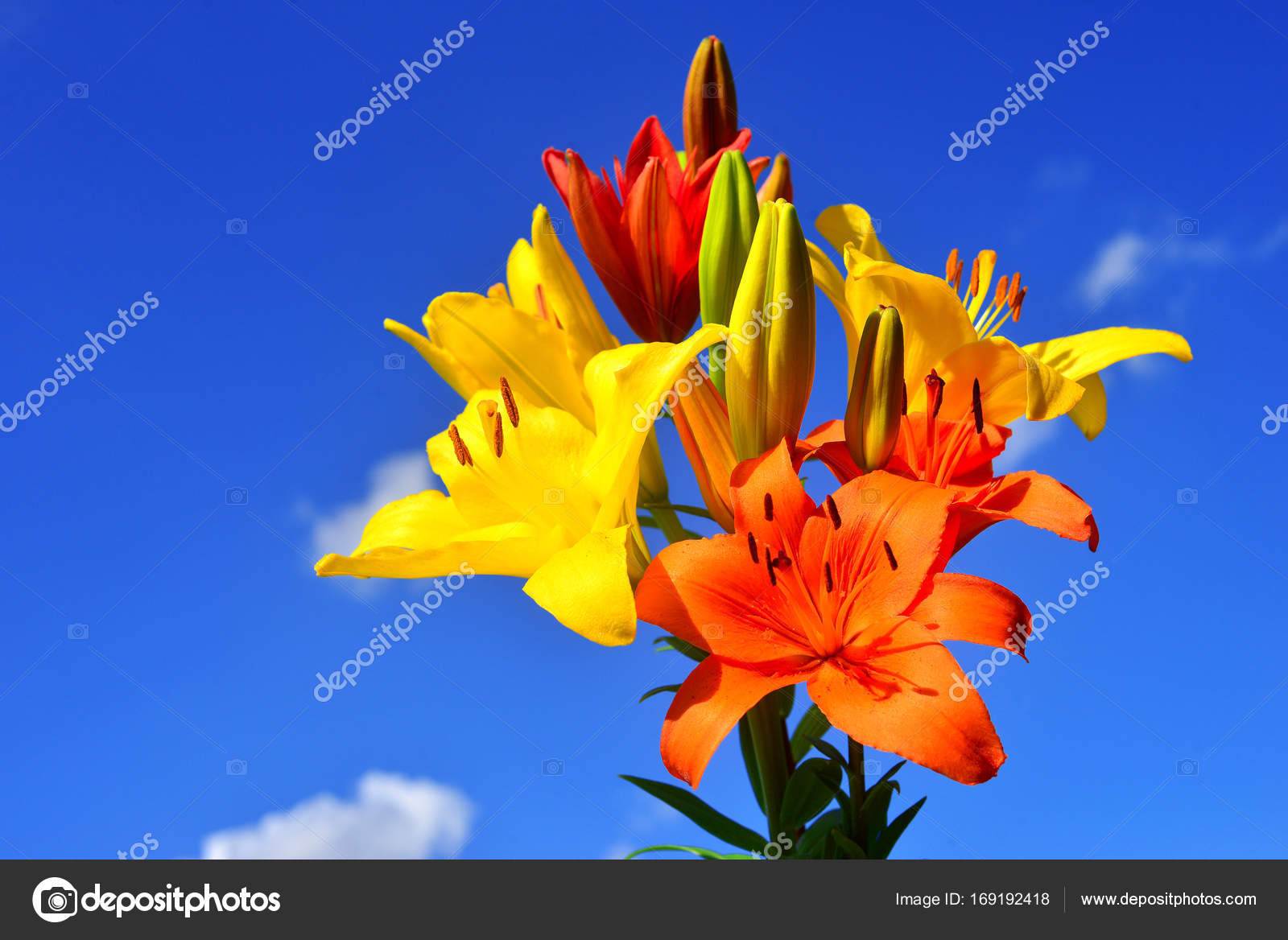 Beautiful Flowers Of Lilies Yellow Red And Pink Against The Blu
