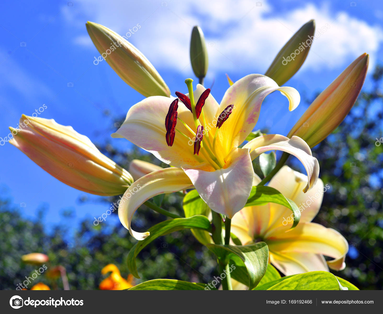 Beautiful flowers of lilies in a garden against a blue sky backg beautiful flowers of lilies in a garden against a blue sky backg stock photo izmirmasajfo