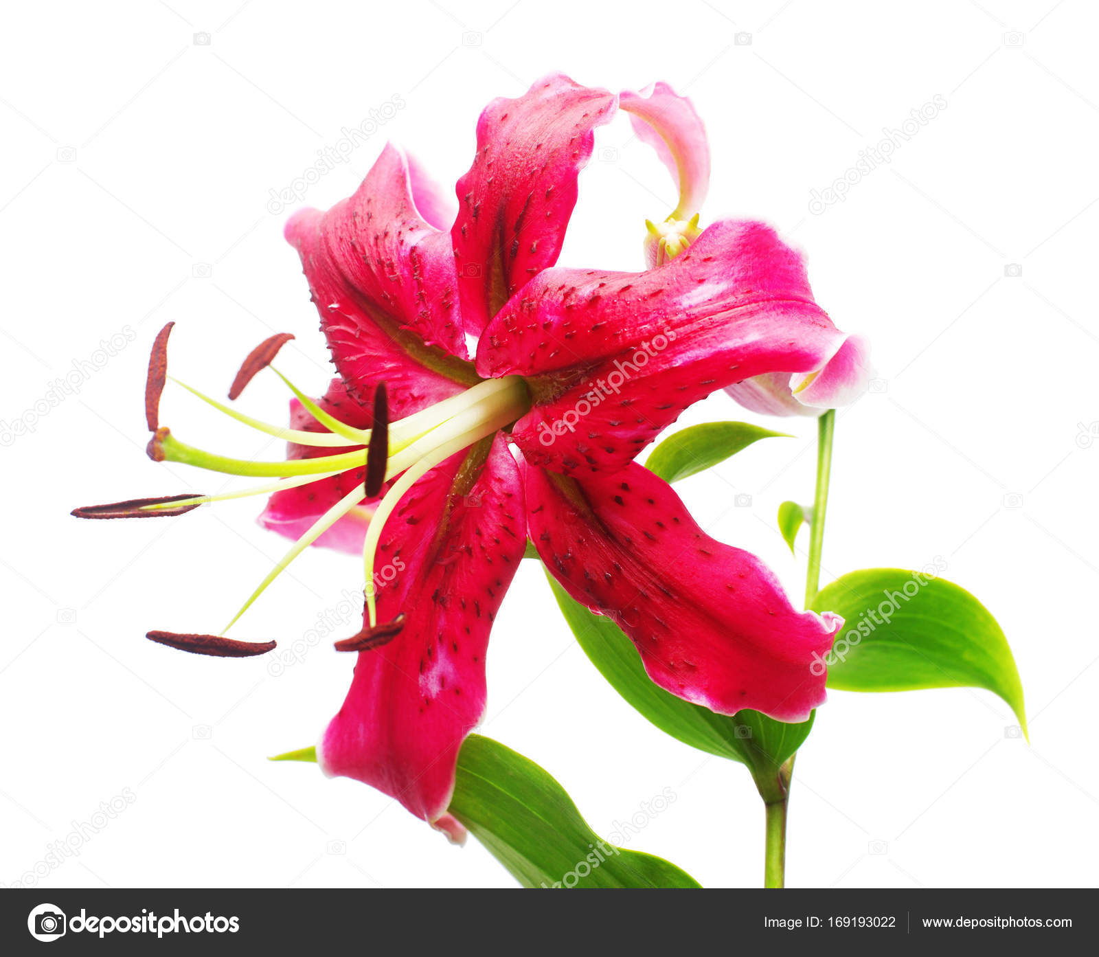 Beautiful Fashionable Lily Flower Of Red Color With Stamens Isol