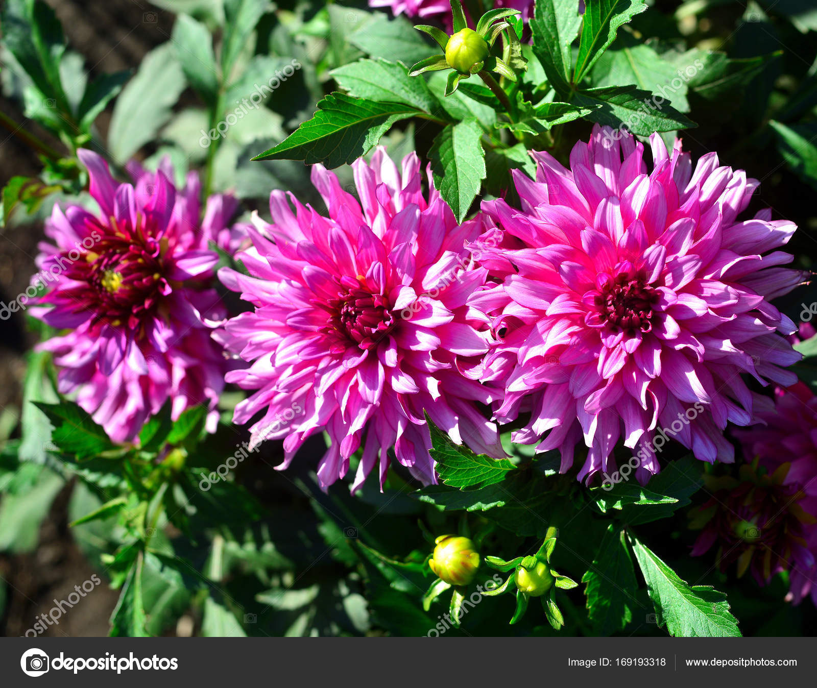 Bouquet of pink dahlias flowers in a garden on a flowerbed stock bouquet of pink dahlias flowers in a garden on a flowerbed photo by flowerstudio izmirmasajfo