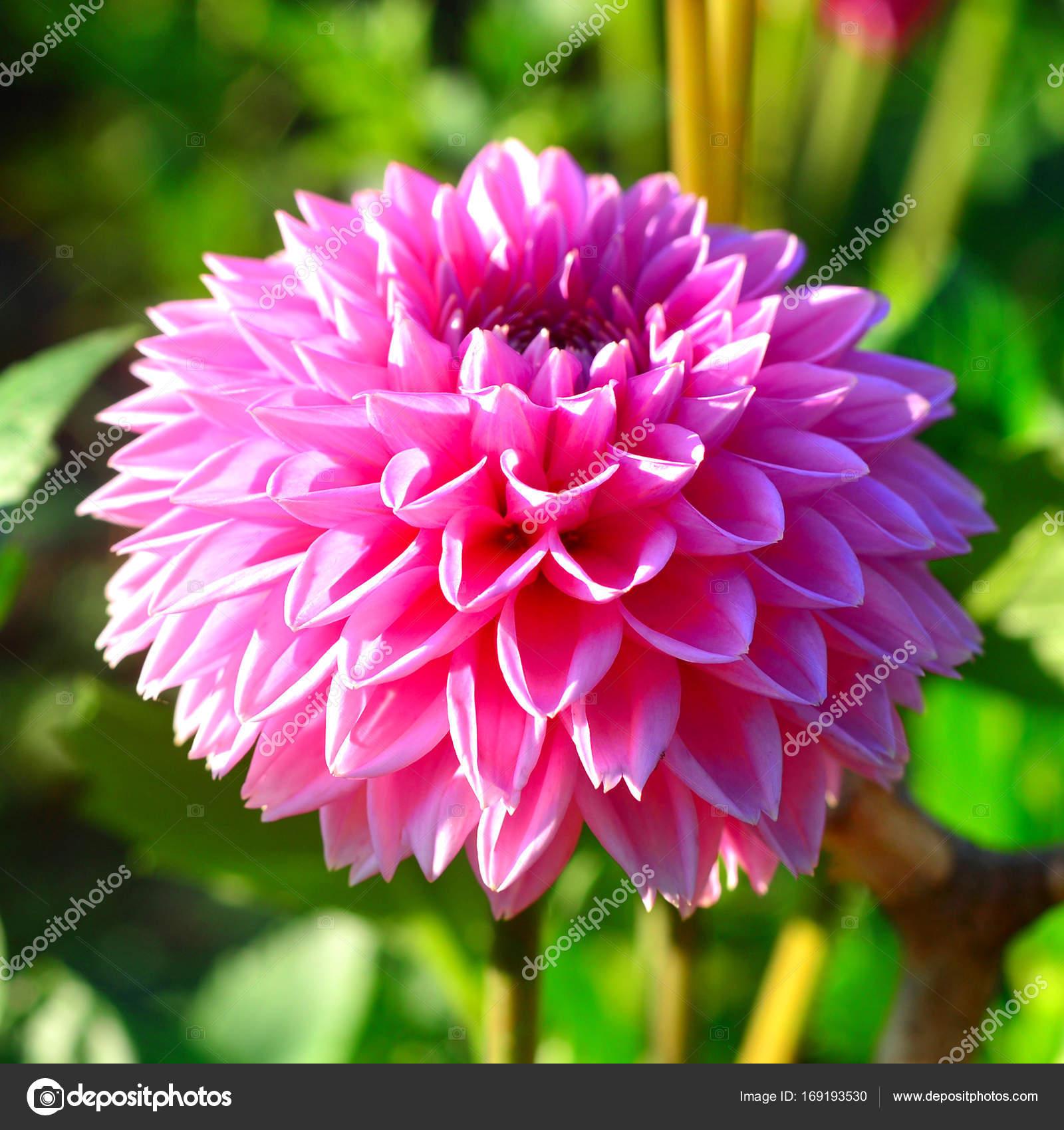 Flor de rosa Dalias y brotes en el jardín de las flores — Fotos de ...