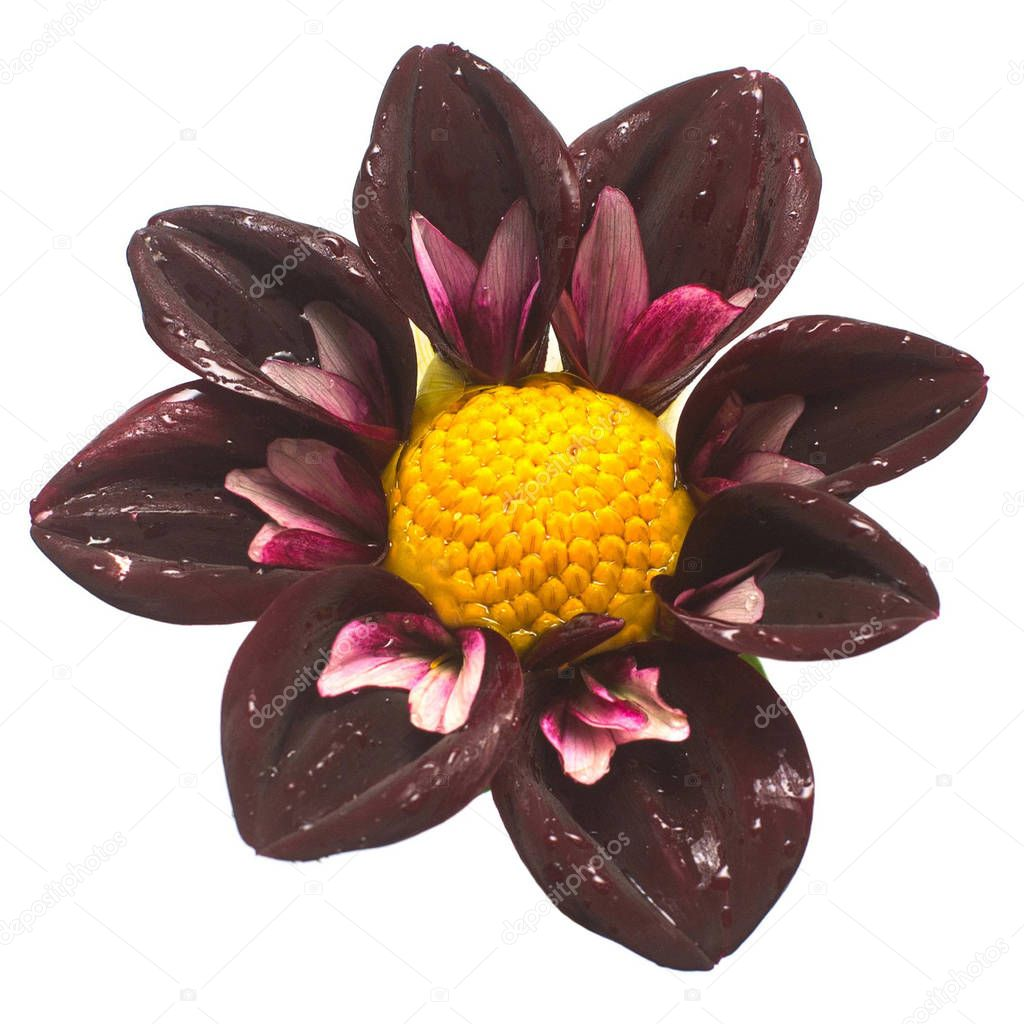 Flower dahlia isolated on white background. Flat lay, top view