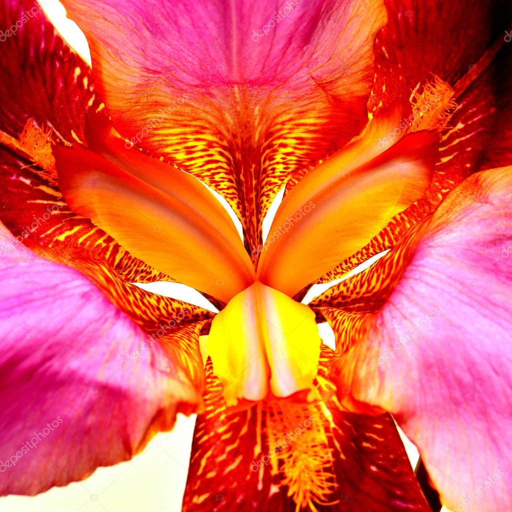 Beautiful iris flower close-up. Atmospheric photography. Tiger c