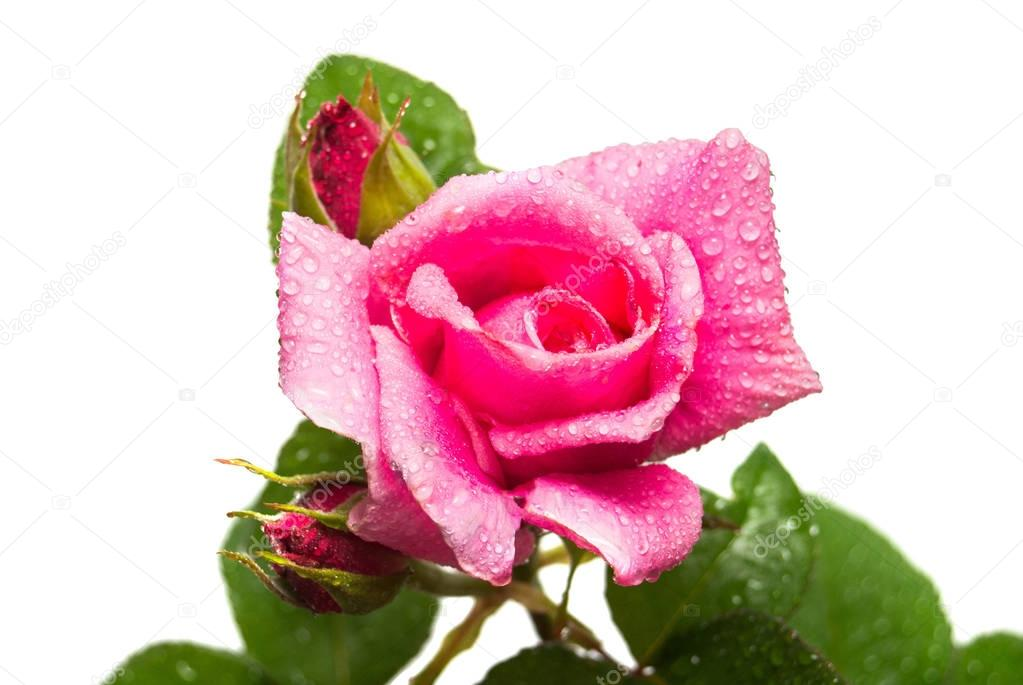 Macro pink rose flower with buds and in droplets isolated on whi