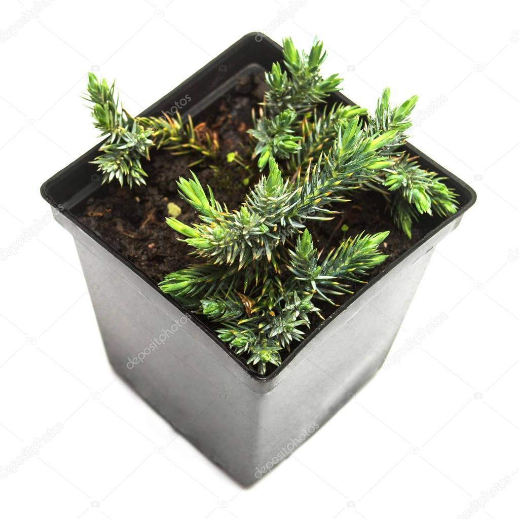 Juniperus horizontalis Blue Chip in a pot isolated on white back