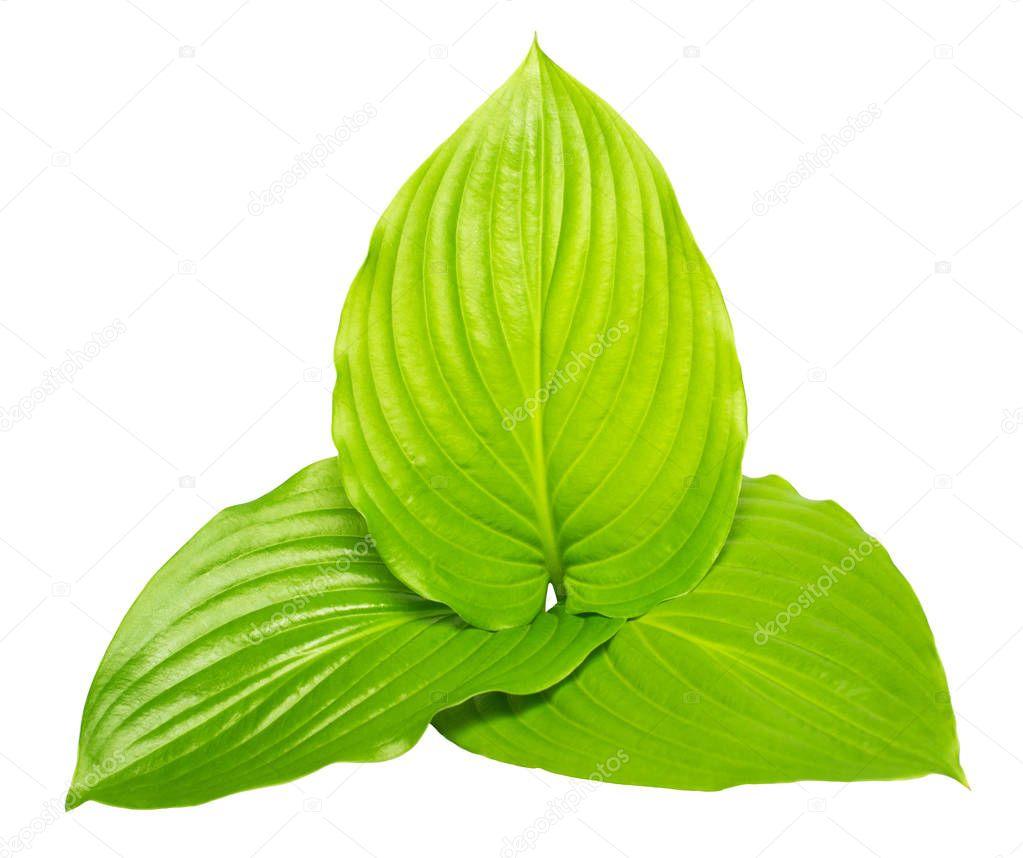 Three leaf hosta isolated on white background. Large leaves. Fla