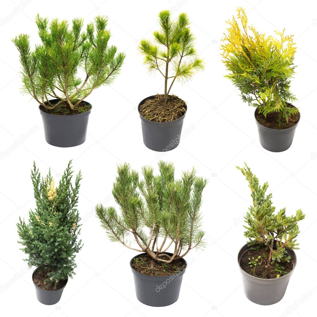 Collection of conifers Pine Pinus mugo, Pinus strobus pine, Juni