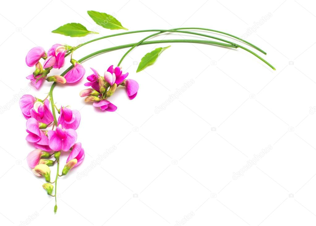 Pea flowers wreath with leaves isolated on white background. Fla