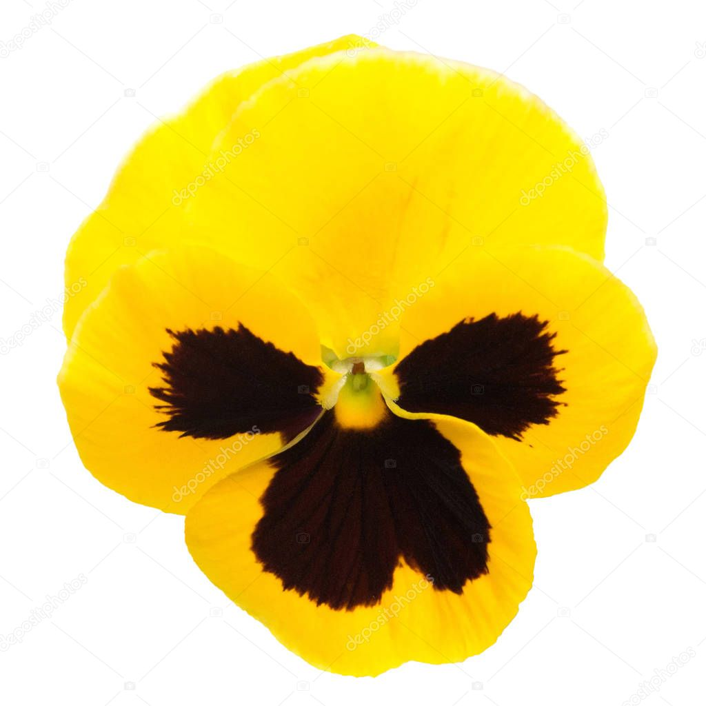 Yellow flowers pansy isolated on white background. Flat lay, top