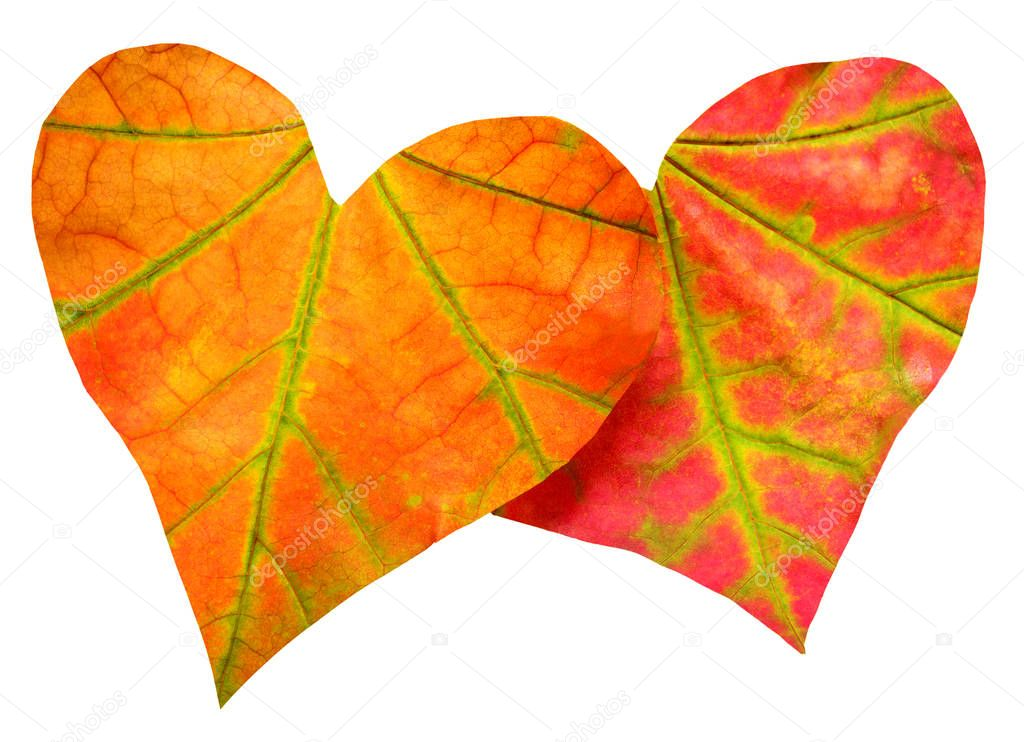 Two red leaf in the form of heart isolated on white background.