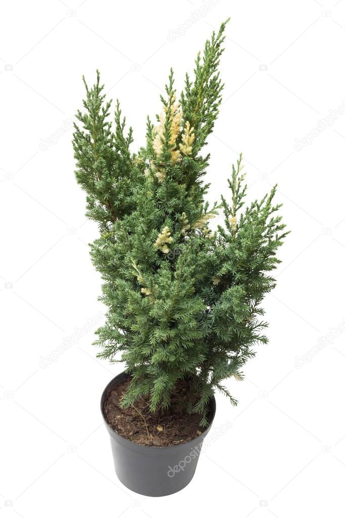 Juniperus chinensis Stricta Variegata in a pot isolated on white