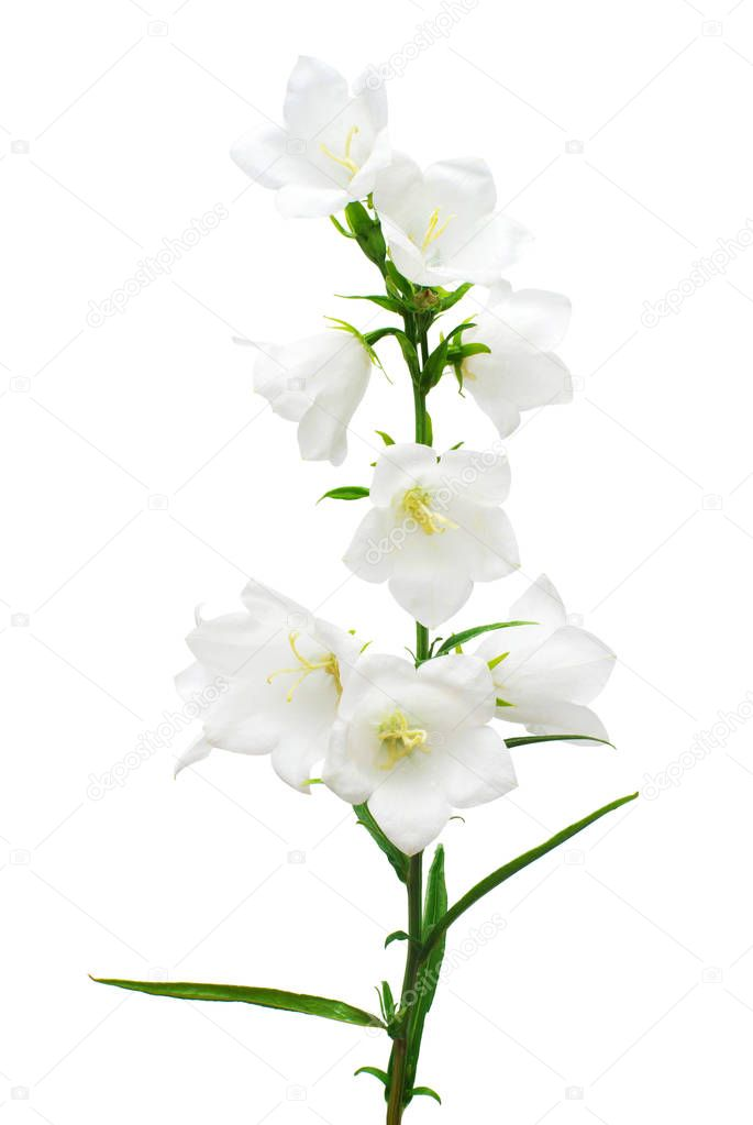 White bell flowers isolated on white background. Flowerbeds, gar