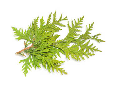 Branch of golden thuja isolated on white background. Coniferous trees. Winter. Christmas. Flat lay, top view stock vector