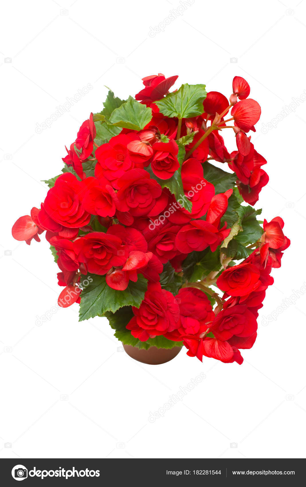 Begonia Red Flowers Pot Isolated White Background Flat Lay Top Stock Photo C Flowerstudio 182281544