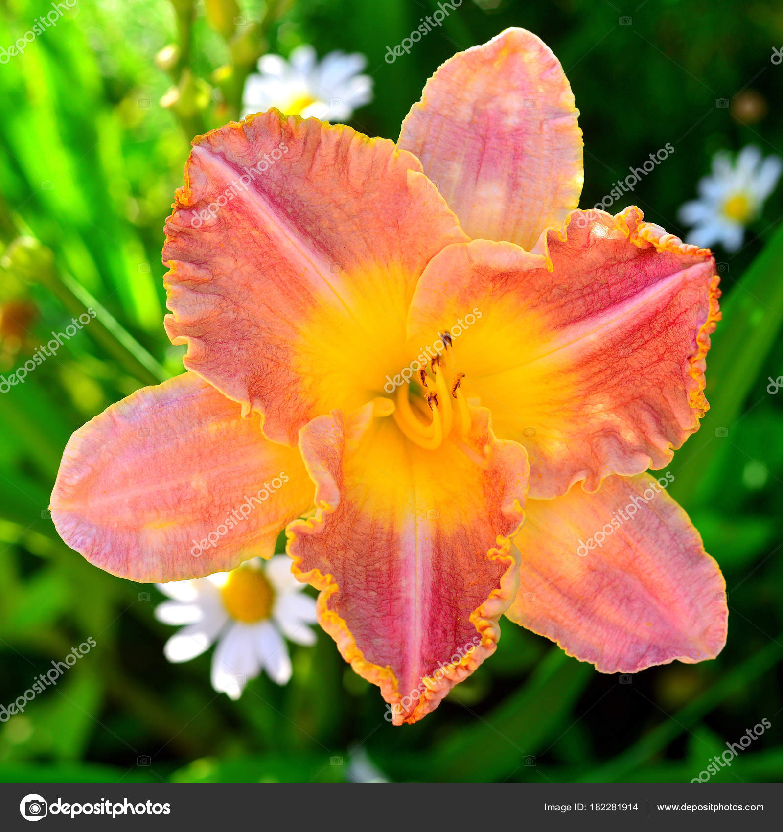 Beautiful Flowers Daylily Garden Background Lawn Daisies Flowerbeds