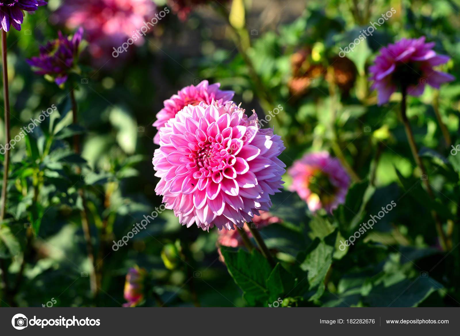 Dahlias Fleurs Rose Dans Jardin Sur Les Massifs Fleurs