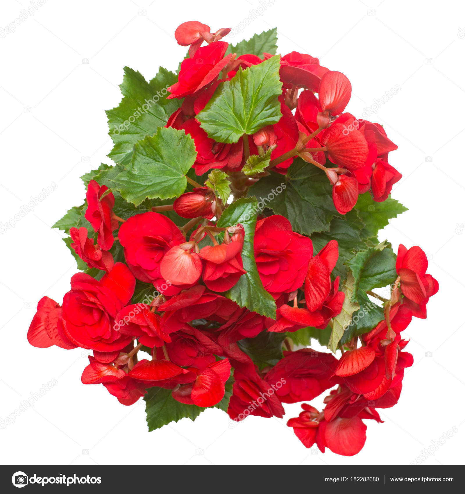 Begonia Red Flowers Isolated White Background Flat Lay Top View Stock Photo C Flowerstudio 182282680