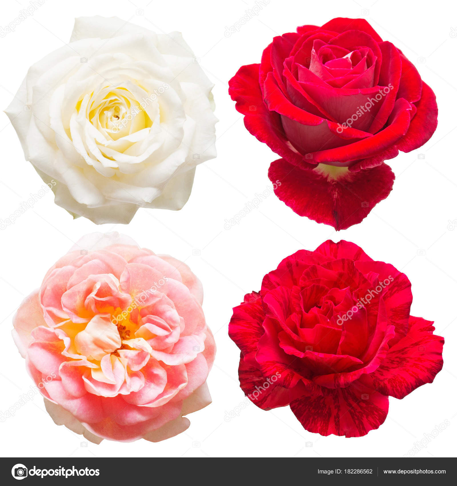 Beautiful Collection Roses Flowers White Red Pink Colors Isolated ...