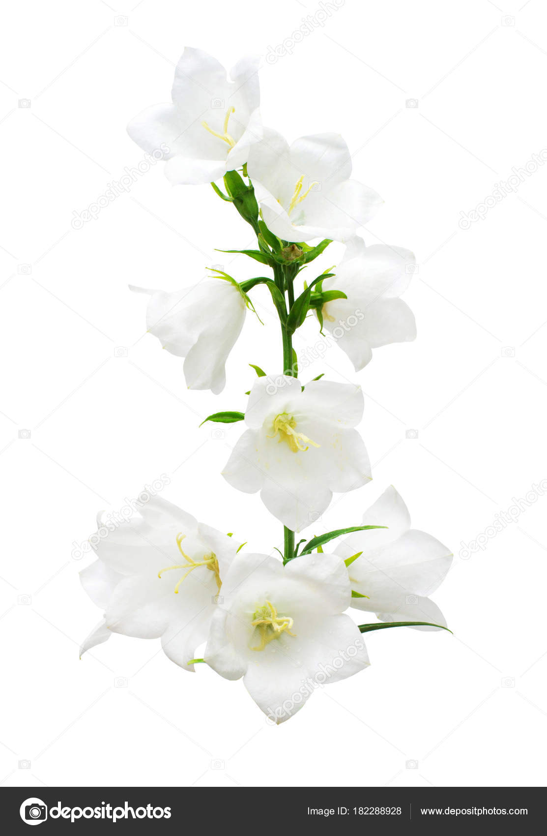 White Bell Flowers Isolated White Background Flowerbeds Garden