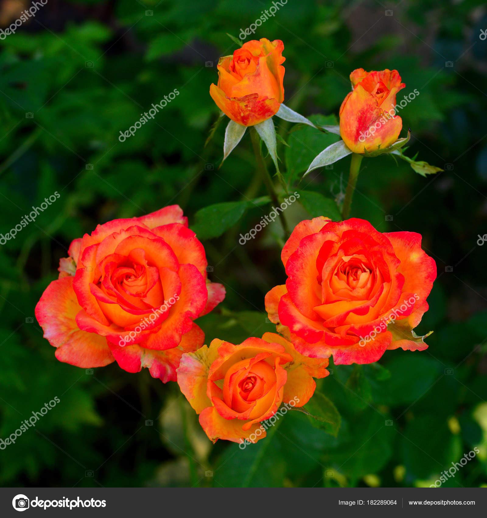Beautiful Bouquet Pink Orange Flowers Roses Bud Garden Lawn