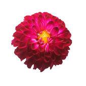 Flower krásné módní růžové dahlia makro přírody izolovaných na bílém pozadí. Botanická, koncepce, flóra, nápad. Pomponic formulář
