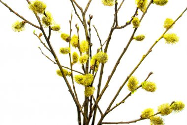 Flowering willow branches isolated on white background