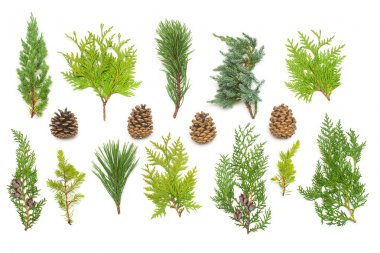 A collection of branches pine, juniper, thuja and cones isolated on white background. Coniferous trees. Winter. Christmas card. Flat lay, top view stock vector