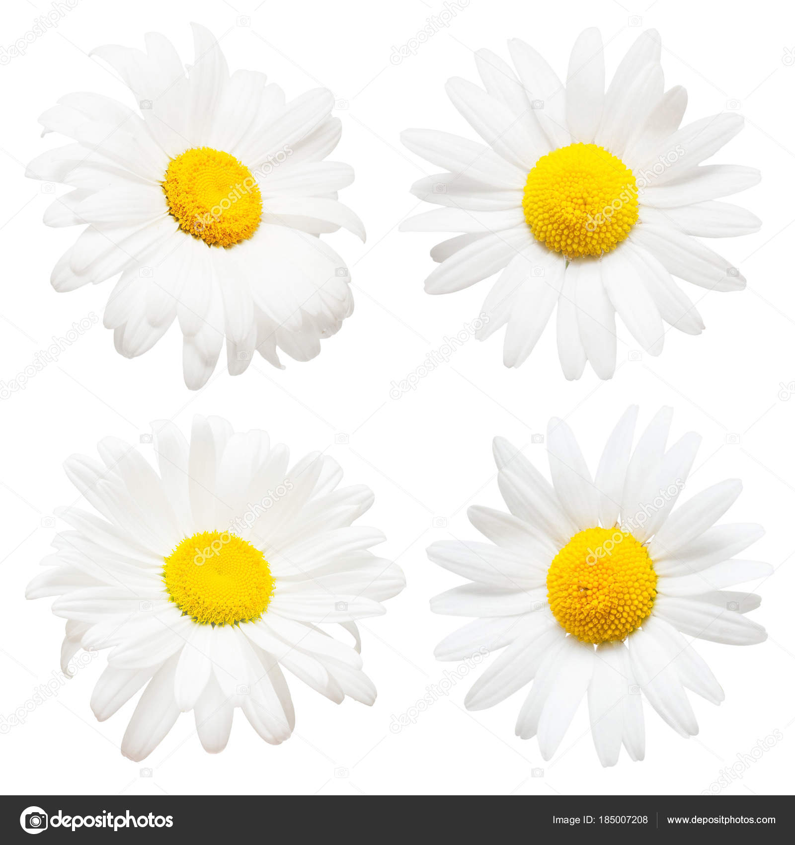 Collection Of Creative Daisies Flowers Isolated On White Backgro