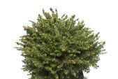 Smrk Picea Omorika Karel v hrnci izolovaných na bílém pozadí. Jehličnany. Vánoční strom. Nový rok