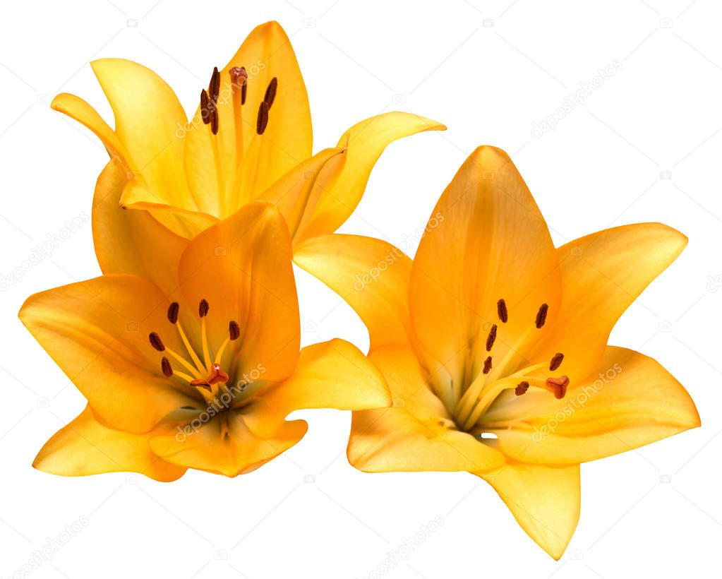 Stamen and pistil. Bouquet flowers yellow lilies isolated on white background. Summer. Spring. Flat lay, top view. Love. Valentine's Day.