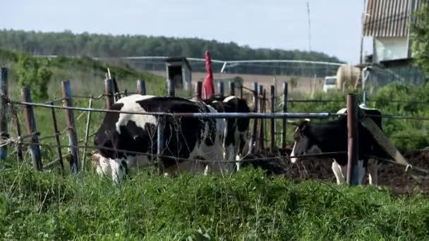 Krávy na farmě v letním dni