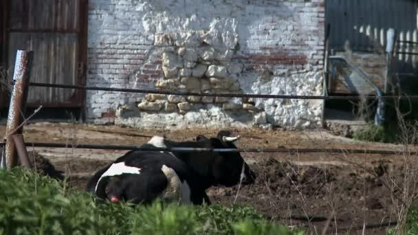 Kráva na farmě v Rusku