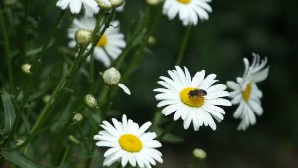 Heřmánek květ květ s hmyz létat nad