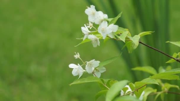 White apple flower bloom closeup