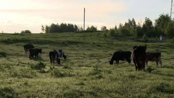 Mandria di vacche da latte al pascolo nel prato presso azienda agricola