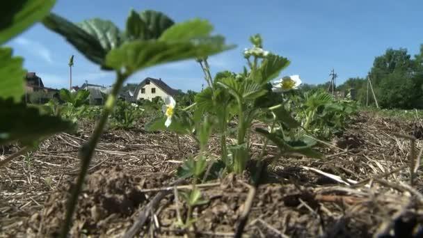 Jahodová rostliny rostoucí ve farmě zahrada na jaře
