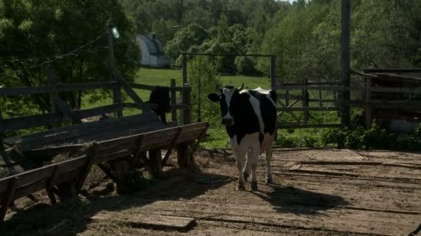 Séta a legelőről a feeder napos tehén