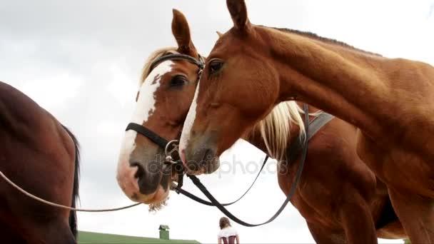 Geschirrte Pferde bleiben draußen und schnuppern Luft
