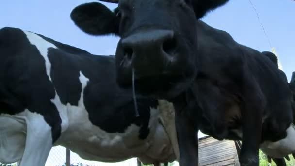 A legelő megtekintéséhez a Paddock-ba érkező tehenek
