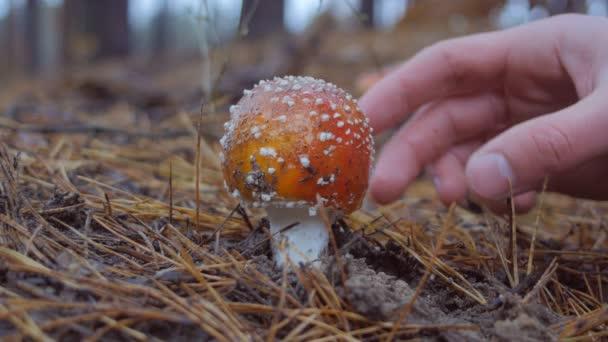 Zárja be kézzel fel felveszi a Légyölő galóca gomba az erdőben