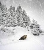 Hund im Winter Karpaten