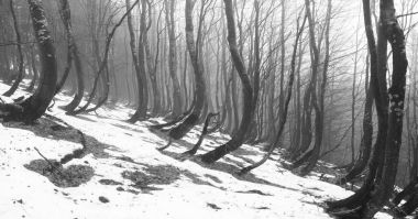 Snow thawed under beeches trees