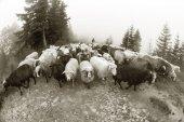 Černé a bílé fotografie ovcí
