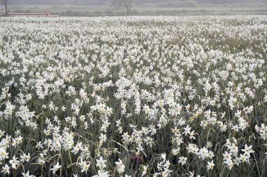 Daffodils field at dawn