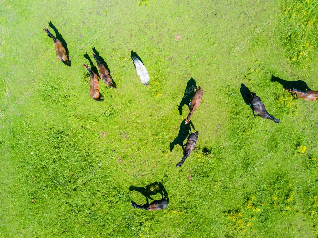 Aerial view of the beautiful horses in the field in Latvia