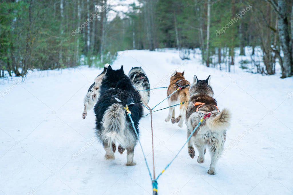 Dog sledding tour in the winter forest